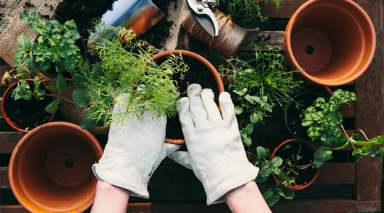 Person planting herbs in a small pot